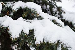 Branch of spruce under snow in the winter. New Year Royalty Free Stock Photography