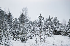 Branch of spruce under snow in the winter. New Year Stock Images