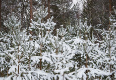 Branch of spruce under snow in the winter. New Year Stock Photo