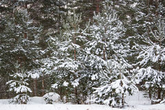 Branch of spruce under snow in the winter. New Year Royalty Free Stock Photos