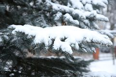 The branch of spurce with snow Royalty Free Stock Photography