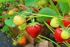 Branch of strawberries royalty free stock images
