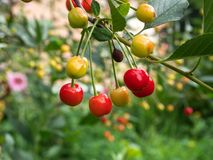 Cherry tree branch. fresh ripe cherries. Sweet cherries in garden. Royalty Free Stock Images