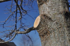 Branch Stub After Limb is Properly Removed. Proper pruning cut leaves branch collar undamaged and in good shape to callous over wound stock image