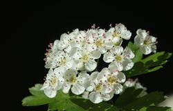 A branch of stunning Hawthorn blossom Crataegus monogyna. A branch of beautiful Hawthorn blossom Crataegus monogyna Stock Photography