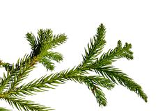 Branch of Sugi tree Cryptomeria Japonica, slightly yellow on older needles due to autumn season, white background. Afternoon natural sunlight Royalty Free Stock Images