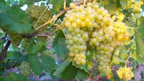 branch of sultana grapes hanging in vineyard stock video footage