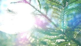 Branch sun light nature. Coniferous branch with sun light nature stock footage