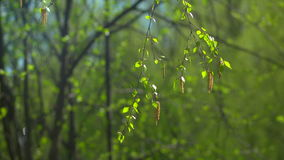 Branch swaying in the wind with leaves. The first spring gentle leaves, buds and branches macro background stock footage
