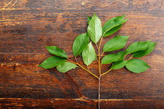 Branch of sweet cherry leaves Stock Image