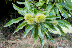 Branch of Sweet Chestnut with unripe green burrs and leaves Stock Image