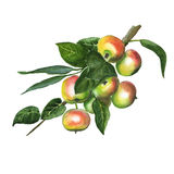 The branch of sweet ripe apples. Watercolor illustration of apple branch. Hand made painting Royalty Free Stock Photography