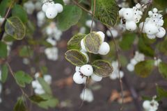 Branch of Symphoricarpos albus with berries in autumn. Branch of Symphoricarpos albus with white berries in autumn Stock Image