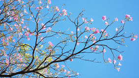 Branch of Tabebuia Royalty Free Stock Images