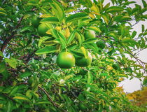 Branch of tangerine tree with unripe mandarin fruits. Branch of tangerine tree with unripe gree mandarin fruits Royalty Free Stock Photo