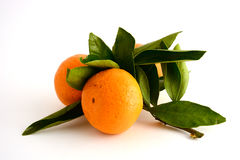 Branch with tangerines. A pair of orange Mandarin in the leaves Royalty Free Stock Photos