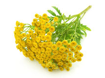 Branch of tansy Royalty Free Stock Images