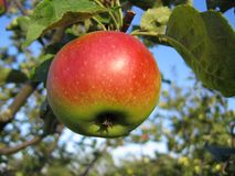 Branch with tasty apple Stock Photography