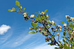 Branch of tasty Bog Bilberry or blueberry Royalty Free Stock Image