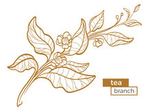 Branch of tea bush with leaves and flowers. Botanical contour drawing. Organic product. Vector. Branch of tea bush with leaves and flowers. Botanical contour vector illustration