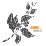 Branch of tea bush with leaves and flowers. Realistic. Vector black silhouette Stock Images