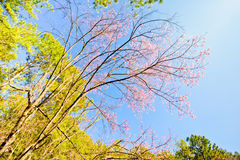 Branch of Thai sakura with blue sky Stock Images