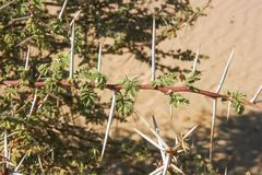 Branch with thorn in Sahara Royalty Free Stock Photos