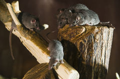 Branch with three mouses Royalty Free Stock Images