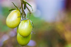 The branch with three tomatos Stock Photography