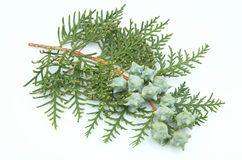 Branch of a thuja Royalty Free Stock Images