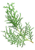 Branch thuja Stock Image