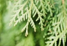 Branch of a thuja close up Royalty Free Stock Photos