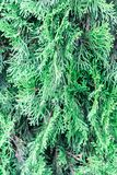 Branch of thuja. Close-up photo. Background. Place for your text.