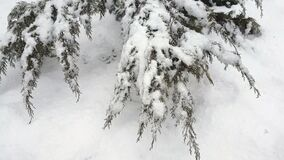 Branch thuja cypress tree covered with snow during blizzard. 4k 30fps video. Dynamic scene stock footage