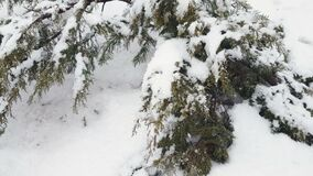 Branch thuja cypress tree covered with snow during blizzard stock video footage