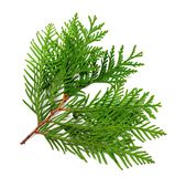 Branch of thuja. Isolated on white background Stock Image