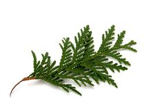 Branch of thuja isolated on white background. Close-up view Royalty Free Stock Photography