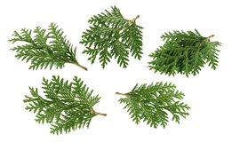 Branch of thuja isolated on white without shadow stock photo