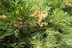 Branch of Thuja occidentalis with seed cones. Branch of Thuja occidentalis with brown seed cones Stock Photo