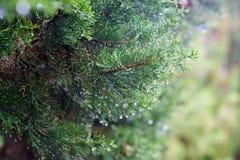 Branch thuja tree Stock Photo