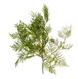Branch of thuja tree Royalty Free Stock Image