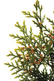 Branch of thuja tree (Thuja), close-up Stock Image