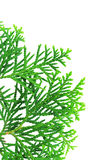 Branch of a thuja tree. Young branch of a thuja isolated on a white background Stock Photography