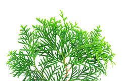 Branch of a thuja tree. Young branch of a thuja isolated on a white background Royalty Free Stock Images