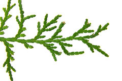 Branch of thuja Royalty Free Stock Photography