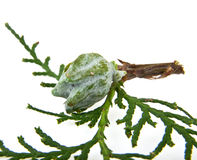 Branch of thuja Royalty Free Stock Images