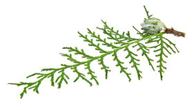 Branch of thuja Royalty Free Stock Photo