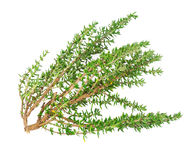 Branch thyme fresh herb Royalty Free Stock Photo