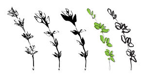 Branch of thyme. Herb nature royalty free illustration