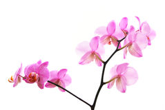 Branch of tiger's violet orchids isolated. On white stock photos
